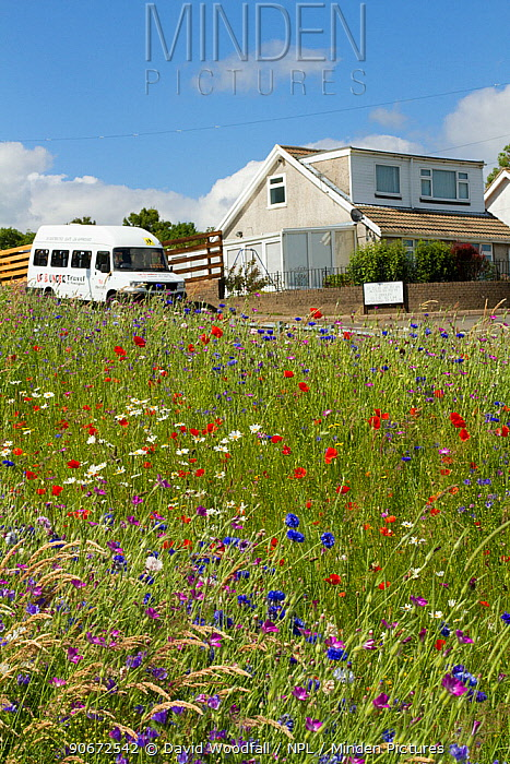 Wildflowers including Poppies (Papaver sp), Ox eye daisies (Chrysanthemum leucanthemum) and Cornflowers (Centaurea cyanus) planted in community green space to attract bees Part of a collaboration between Bron Afon community Housing Trust and the Friends of the Earth Bee Friendly project South Wales, UK, July 2014  -  David Woodfall/ npl