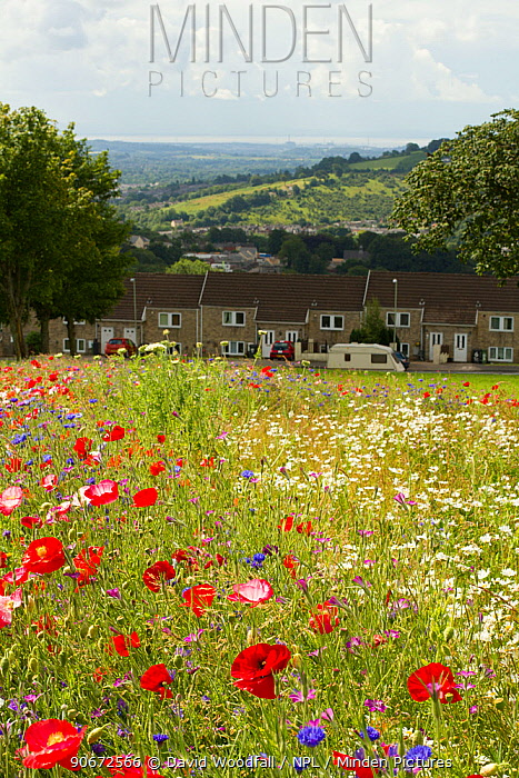 Wildflowers including Poppies (Papaver sp) and Ox eye daisies (Chrysanthemum leucanthemum) planted to attract bees as part of the Friends of the Earth Bee Friendly project carried out with the Bron Afon Community Housing Association Near Cwmbran, South Wales, UK July 2014  -  David Woodfall/ npl