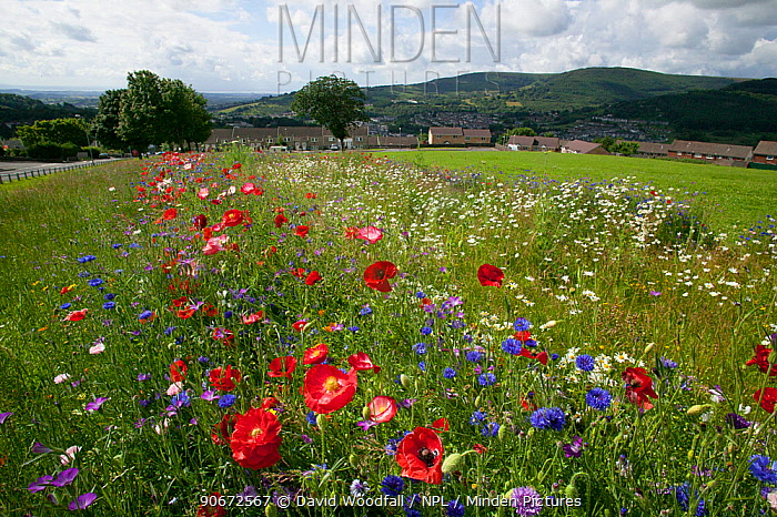 Wildflowers including Poppies (Papaver sp), Ox eye daisies (Chrysanthemum leucanthemum) and Cornflowers (Centaurea cyanus) planted to attract bees as part of the Friends of the Earth Bee Friendly project carried out with the Bron Afon Community Housing Association Near Cwmbran, South Wales, UK July 2014  -  David Woodfall/ npl
