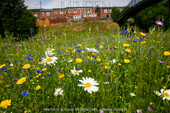 Ox eye daisies (Chrysanthemum leucanthemum) and Meadow buttercups (Ranunculus acris) sown to attract bees as part of the Friends of the Earth Bee Friendly campaign with the Bron Afon Community Housing Association, Cwmbran, South Wales, UK July 2014  -  David Woodfall/ npl