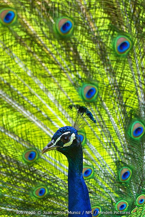 Indian peafowl (Pavo cristatus) captive, occurs in South Asia  -  Juan Carlos Munoz/ npl