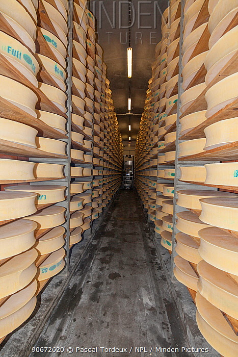 Beaufort cheeses in cellar 20,000 cheeses are kept in 26 cellars here, and the aging process takes 5 months Bourg-Saint-Maurice, Savoie, Rhone-Alpes, France, May 2014  -  Pascal Tordeux/ npl