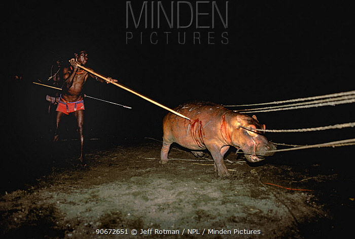 El Molo Warriors, Hunters hunting hippopotamus (Hippopotamus amphibius) at Hippo Hunt using pole spears and ropes, El Molo Tribe, Lake Turkana, Kenya  -  Jeff Rotman/ npl