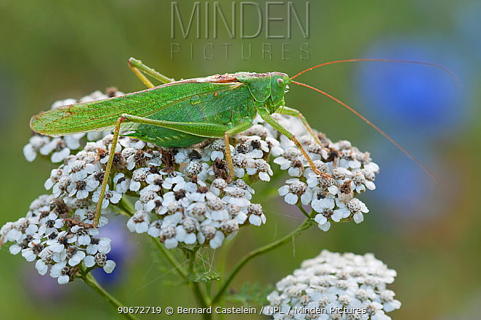 Great green bush-cricket (Tettigonia viridissima) Inslag, Brasschaat, Belgium, July  -  Bernard Castelein/ npl