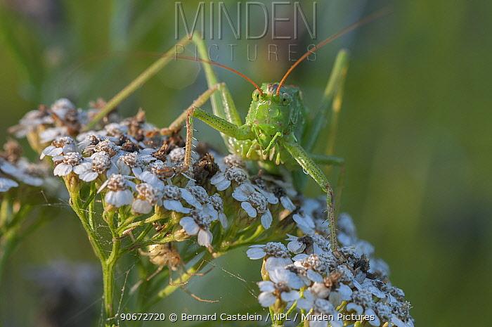 Great green bush-cricket (Tettigonia viridissima) Inslag, Brasschaat, Belgium, July  -  Bernard Castelein/ npl