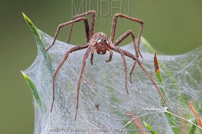 Nursery-web spider (Pisaura mirabilis) female guarding nest, Groot Schietveld, Wuustwezel Belgium, July  -  Bernard Castelein/ npl