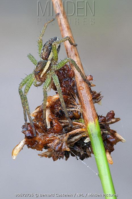Raft spider (Dolomedes fimbriatus) juvenile, Klein Schietveld, Brasschaat, Belgium, August  -  Bernard Castelein/ npl