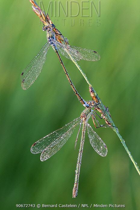 Emerald damselfly (Lestes sponsa) pair, Klein Schietveld, Brasschaat, Belgium, August  -  Bernard Castelein/ npl