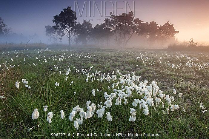 Common cotton grass (Eriophorum angustifolium) Klein Schietveld, Brasschaat, Belgium, May  -  Bernard Castelein/ npl
