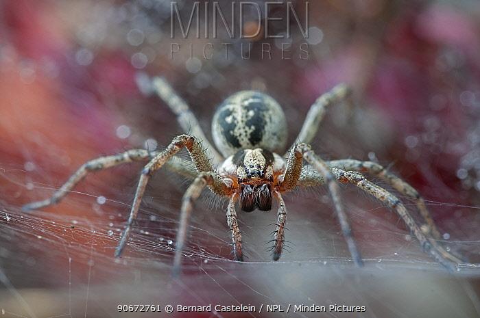 Funnel-web spider (Agelena labyrinthica) Brasschaat, Belgium, July  -  Bernard Castelein/ npl