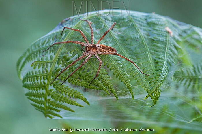Nursery-web spider (Pisaura mirabilis) female on top of fern leaf nest, Brasschaat, Belgium, July  -  Bernard Castelein/ npl