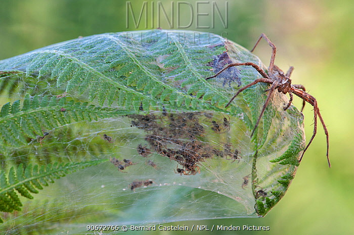 Nursery-web spider (Pisaura mirabilis) female on top of fern leaf nest with young spiders inside, Brasschaat, Belgium, July  -  Bernard Castelein/ npl