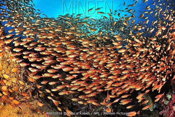 School of yellow sweepers, glassfish (Parapriacanthus ransonneti, guentheri) on reef, coast of Dhofar and Hallaniyat islands, Oman Arabian Sea  -  Pascal Kobeh/ npl