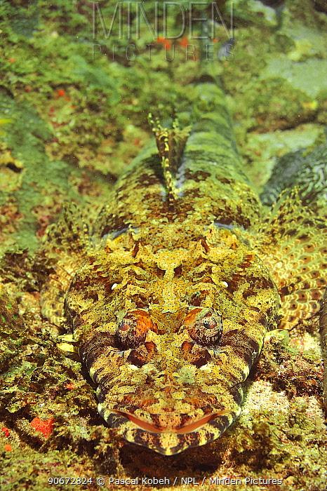 Close-up of a common crocodilefish, carpet flathead (Papilloculiceps longiceps), coast of Dhofar and Hallaniyat islands, Oman Arabian Sea  -  Pascal Kobeh/ npl