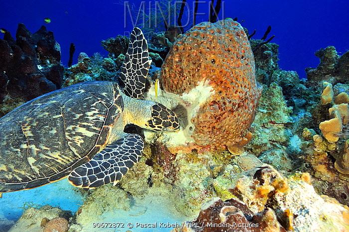 Hawksbill turtle (Eretmochelys imbricata) feeding on a Leathery barrel sponge (Geodia neptuni), San Salvador Island, Colombus Island, Bahamas Caribbean  -  Pascal Kobeh/ npl