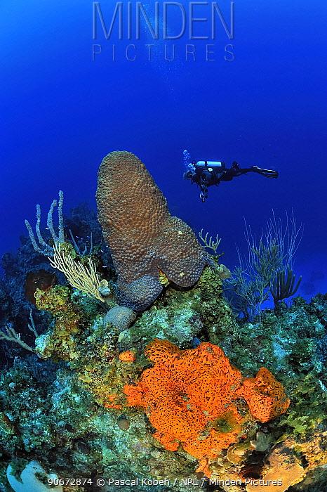 Diver above the reef with Caribbean sea whips (Plexaura homomalla), Elephant ear sponge (Agelas clathrodes) and a Great star coral (Montastraea cavernosa), San Salvador Island, Colombus Island, Bahamas Caribbean June 2013  -  Pascal Kobeh/ npl