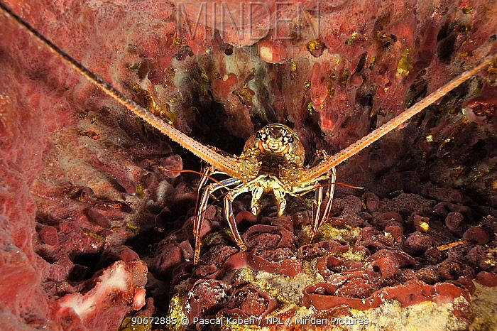 Caribbean spiny lobster (Panulirus argus) in Giant barrel sponge (Xestospongia muta), San Salvador Island, Colombus Island, Bahamas Caribbean  -  Pascal Kobeh/ npl