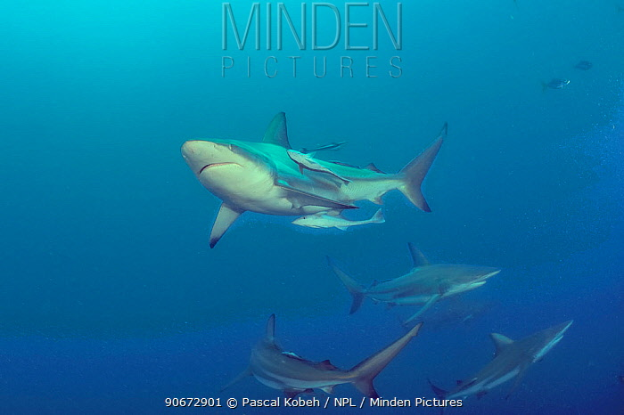 Blacktip sharks (Carcharhinus limbatus) with Remoras (Echeneis naucrates) attached to some of them, Kwazulu-Natal, South Africa Indian Ocean  -  Pascal Kobeh/ npl
