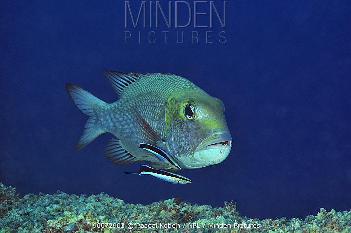 Bluestreak cleaner wrasses (Labroides dimidiatus) cleaning Bigeye emperor (Monotaxis grandoculis) Sudan Red Sea  -  Pascal Kobeh/ npl