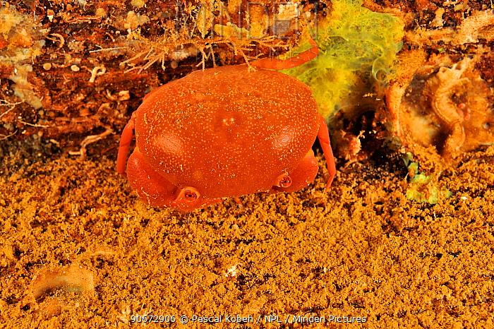 Red coral crab (Tetralia cymodoce) at night, Sudan Red Sea  -  Pascal Kobeh/ npl