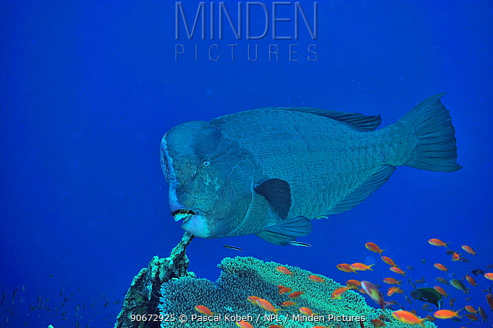 Humphead parrotfish (Bolbometopon muricatum) above coral reef, cleaned by two Blue streaked cleaner wrasses (Labroides dimidiatus) among Jewel fairy basslets, anthias (Pseudanthias squamipinnis) Sudan Red Sea  -  Pascal Kobeh/ npl