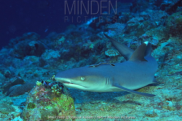 White tip shark (Triaenodon obesus) resting on sea floor with a remora (Echeneis naucrates) attached to its back, Maldives Indian Ocean  -  Pascal Kobeh/ npl