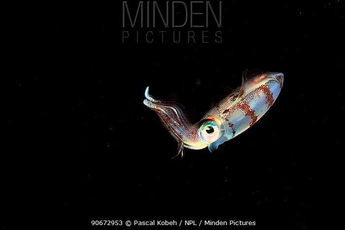 Caribbean reef squid (Sepioteuthis sepioidea) swimming in open water at night, Guadeloupe Island, Mexico Caribbean  -  Pascal Kobeh/ npl