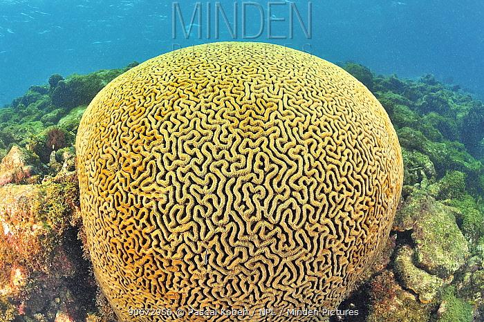 Brain coral (Diploria labyrinthiformis) Guadeloupe Island, Mexico Caribbean  -  Pascal Kobeh/ npl