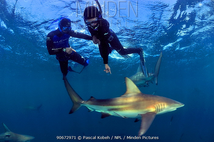 Pierre Frolla, free diving record holder of the world, and female diver training with him, diving among Blacktip sharks (Carcharhinus limbatus), Kwazulu-Natal, South Africa Indian Ocean November 2011  -  Pascal Kobeh/ npl