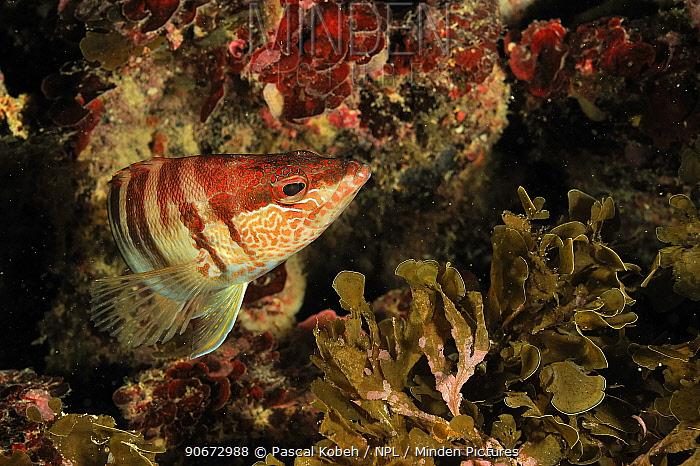 Painted comber, grouper (Serranus scriba), Gozo Island, Malta Mediterranean Sea  -  Pascal Kobeh/ npl