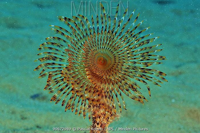 Spiral tube-worm (Sabella spallanzanii), Gozo Island, Malta Mediterranean Sea  -  Pascal Kobeh/ npl