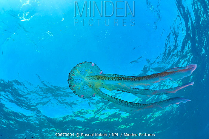 Luminescent jellyfish, Mauve stinger (Pelagia noctiluca) in open water, Gozo Island, Malta Mediterranean Sea  -  Pascal Kobeh/ npl