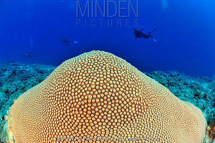 Sun coral (Diploastrea heliopora) with divers in the background, Madagascar Indian Ocean September 2012  -  Pascal Kobeh/ npl