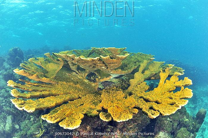 Elkhorn coral table (Acropora palmata) Guadeloupe Island, Mexico Caribbean  -  Pascal Kobeh/ npl
