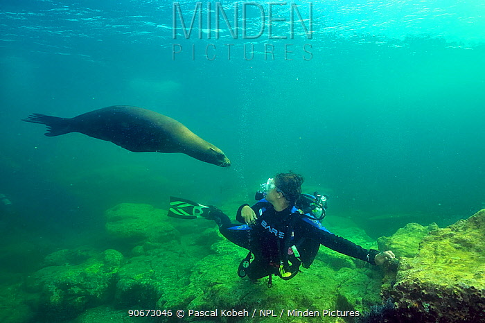 Diver with a playful California sea lion (Zalophus californianus) Baja California peninsula, Mexico Sea of Cortez July 2012  -  Pascal Kobeh/ npl