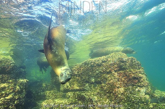 California sea lions (Zalophus californianus) playing close to the surface, Baja California peninsula, Mexico Sea of Cortez  -  Pascal Kobeh/ npl