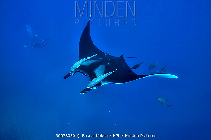 Diver filming a giant manta ray (manta birostris) swimming in open water with two remoras (Remora remora) hung on its body and surrounded with black jacks, trevally (Caranx lugubris), Revillagigedo islands, Mexico Pacific Ocean June 2012  -  Pascal Kobeh/ npl