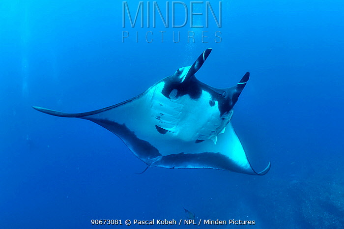 Divers behind a Giant manta ray (manta birostris) with two Remoras (Remora remora) attached its body and surrounded with Black jacks, trevally (Caranx lugubris) and a Clarion angelfish (Holacanthus clarionensis) Revillagigedo islands, Mexico Pacific Ocean June 2012  -  Pascal Kobeh/ npl