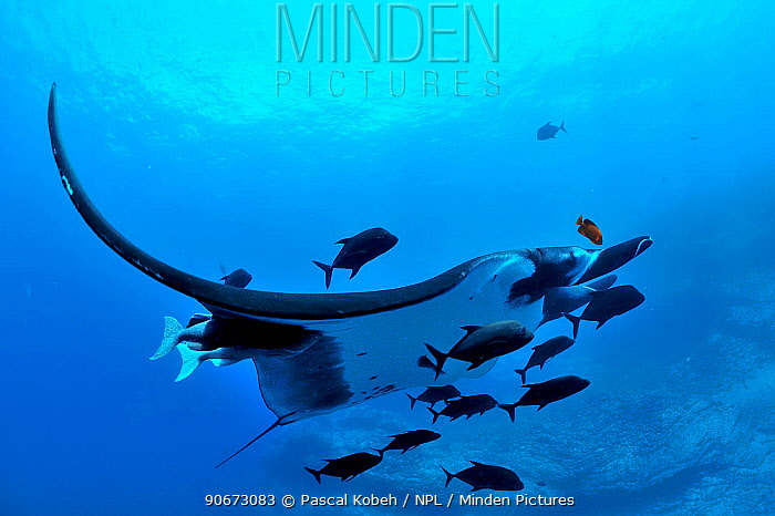 Giant manta ray (manta birostris) with two Remoras (Remora remora) attached its body and surrounded with Black jacks, trevally (Caranx lugubris) and a Clarion angelfish (Holacanthus clarionensis) Revillagigedo islands, Mexico Pacific Ocean  -  Pascal Kobeh/ npl