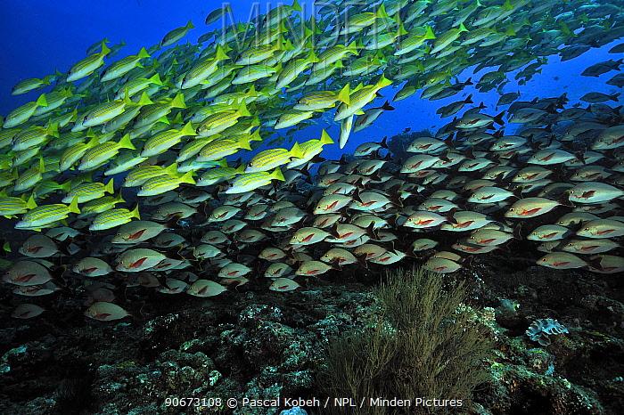 School of Bluelined, Bluestriped snappers (Lutjanus kasmira) and a school of humpback snappers (Lutjanus gibus) Maldives Indian Ocean  -  Pascal Kobeh/ npl