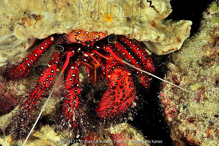 White spot hermit crab (Dardanus megistos) at night, Maldives Indian Ocean  -  Pascal Kobeh/ npl