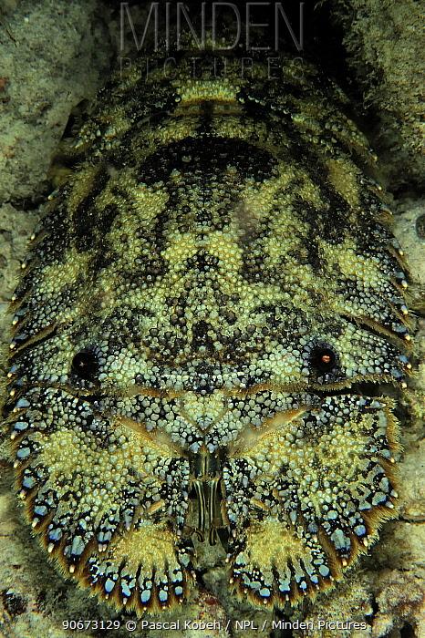Sculptured mitten lobster (Parribacus antarcticus) at night, Maldives Indian Ocean  -  Pascal Kobeh/ npl