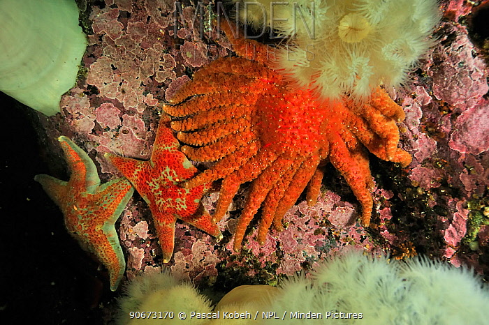 Sunflower sea star (Pycnopodia helianthoides) and two leather stars (Dermasterias imbricata) among giant plumrose anemones (Metridium giganteum), Alaska, USA, Gulf of Alaska Pacific ocean  -  Pascal Kobeh/ npl