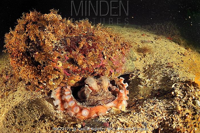 Pacific red octopus (Octopus rubescens) hiding, Alaska, USA, Gulf of Alaska Pacific ocean  -  Pascal Kobeh/ npl