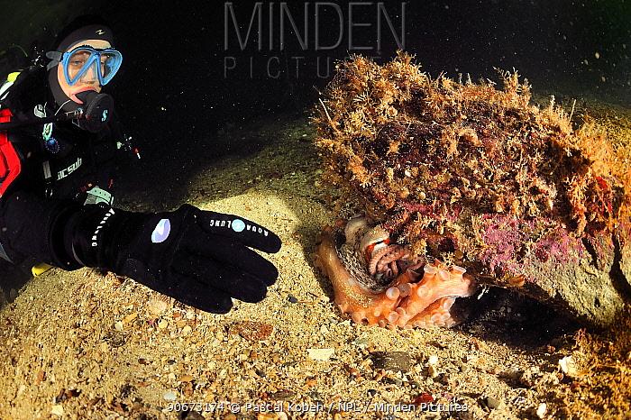 Diver with Pacific red octopus (Octopus rubescens) hiding under rock, Alaska, USA, Gulf of Alaska Pacific ocean August 2011  -  Pascal Kobeh/ npl