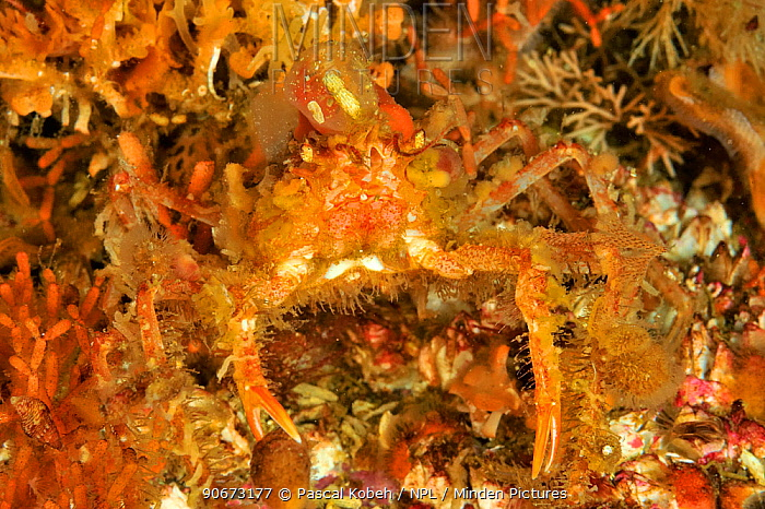 Slender, Graceful decorated crab (Oregonia gracilis), Alaska, USA, Gulf of Alaska Pacific ocean  -  Pascal Kobeh/ npl