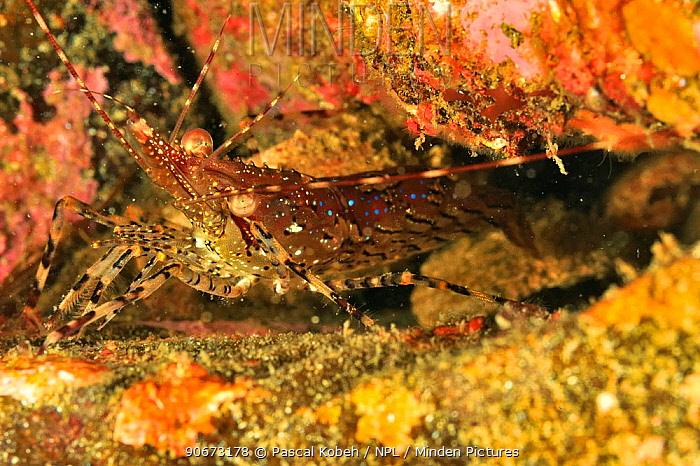 Coonstripe shrimp, Dock shrimp (Pandalus danae), Alaska, USA, Gulf of Alaska Pacific ocean  -  Pascal Kobeh/ npl