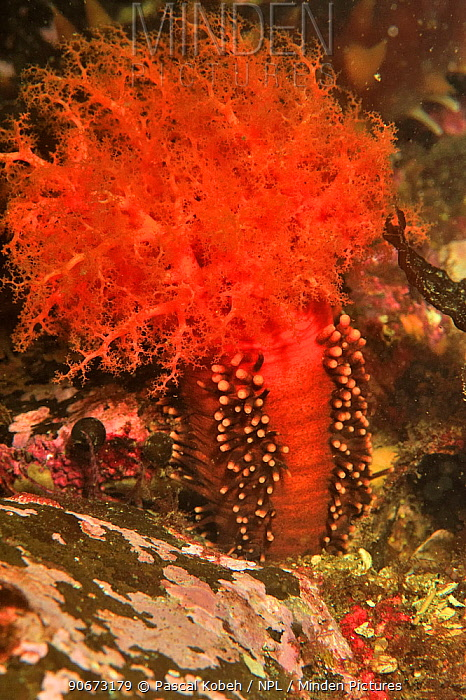 Orange sea cucumber (Cucumaria miniata), Alaska, USA, Gulf of Alaska Pacific ocean  -  Pascal Kobeh/ npl