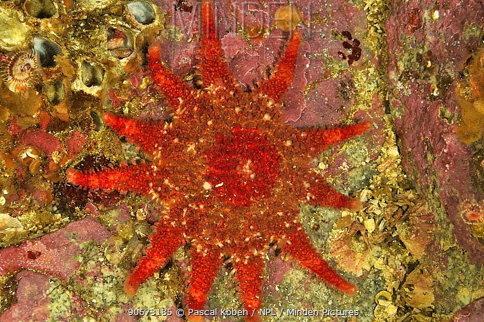 Rose star, Common sunstar (Crossaster papposus), Alaska, USA, Gulf of Alaska Pacific ocean  -  Pascal Kobeh/ npl