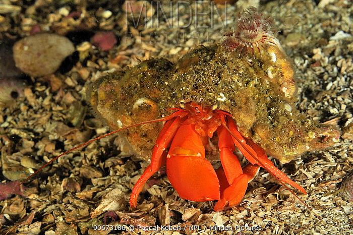 Orange, Pacific red hermit crab (Elassochirus gilli), Alaska, USA, Gulf of Alaska Pacific ocean  -  Pascal Kobeh/ npl